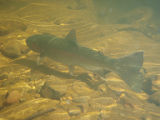 Anadromous adult steelhead trout in Topanga Creek, Topanga, California